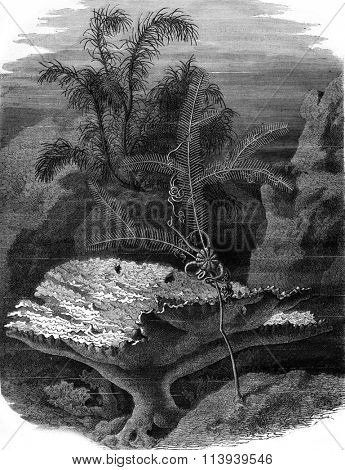 Polyps of Guadeloupe, vintage engraved illustration. Magasin Pittoresque 1876.
