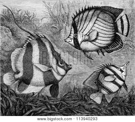 The Chaetodons, vintage engraved illustration. Magasin Pittoresque 1873.