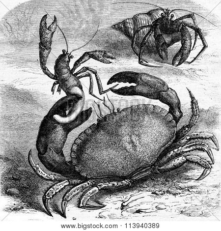 Edible crab devouring a corpse Bernard the hermit of his shell, vintage engraved illustration. Magasin Pittoresque 1873.