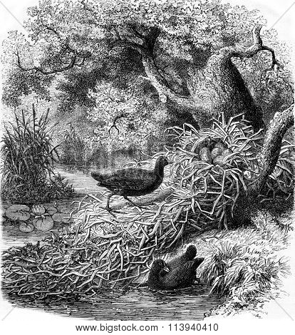 The Moorhen and its nest, vintage engraved illustration. Magasin Pittoresque 1873.