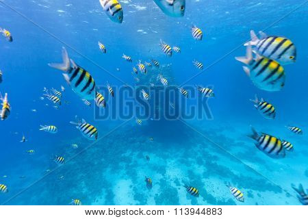 Shoal of tropical fish in Red Sea