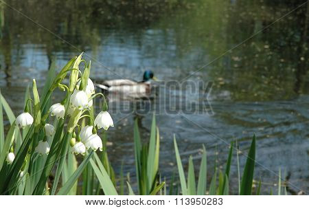 Flowers Of A Lily Of The Valley On The Bank Of The Lake