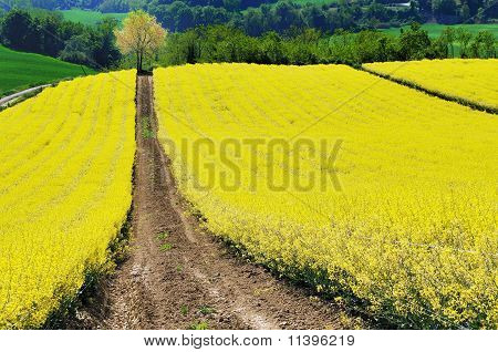 Pathway across yellow field