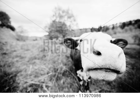 Funny Nose Of Cow