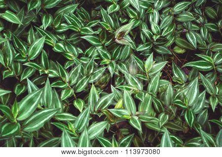 Lush foliage of Wandering Jew plant scientific name Tradescantia zebrina a species of spiderwort. poster