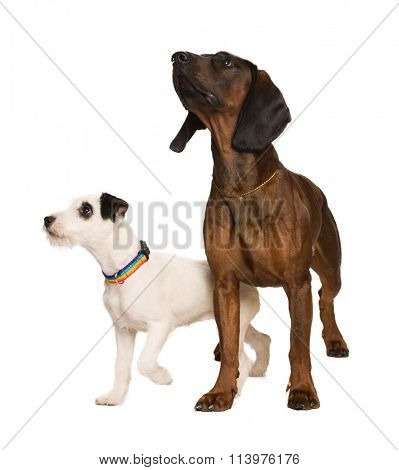 russel terrier and bavarian mountain dog on white
