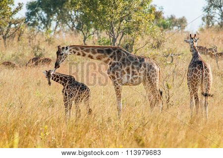 The Giraffe Licks A Cub. Africa. Kenya.