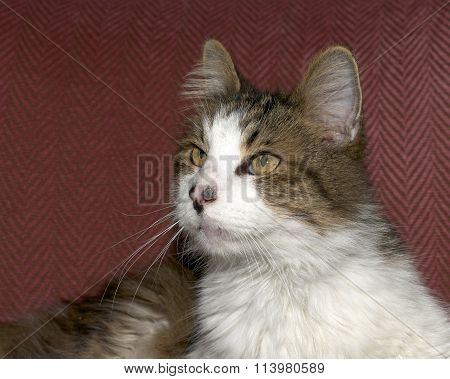 The classic Maine Coon, a brown tabby or brown tabby with white, laying a maroon chair