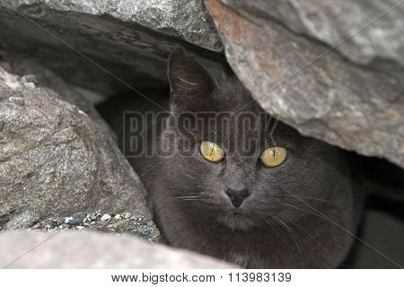 Feral gray cat peaking out of rocks on the beach