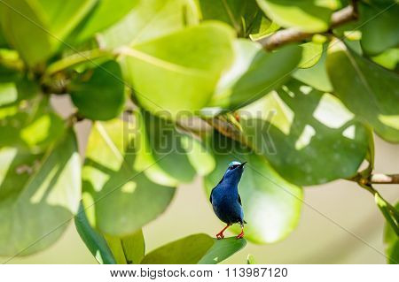 Colorful Red-legged Honeycreeper (cyanerpes Cyaneus) Perched On A Branch