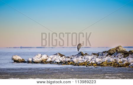 Winter Great Blue Heron