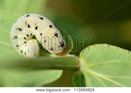 Tenthredo balteata sawfly caterpillar