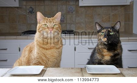 Male Tabby cat and Female Tortoiseshell or Tortie Tabby cat sitting at the counter with an empty plate waiting for food. Looking intently towards oncoming meal. Waiting. poster