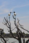 Australian White Ibises standing with beaks touching in the tree tops at Lake Coogee wetland area in Western Australia. poster
