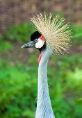 An African Crane emerges from a bush. poster