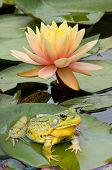 bullfrog is sitting on lily pad in front of yellow lily. poster