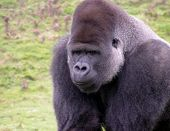 a silver back mountain gorilla taken in a zoo park in the uk. poster