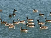 A large group of Canada Geese swim lazily in Lake Michigan - Illinois. poster