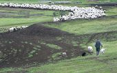 A lone shepard tends to his flock of sheep with the help of his dogs. poster