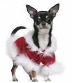 Chihuahua in Santa outfit 7 months old standing in front of white background poster