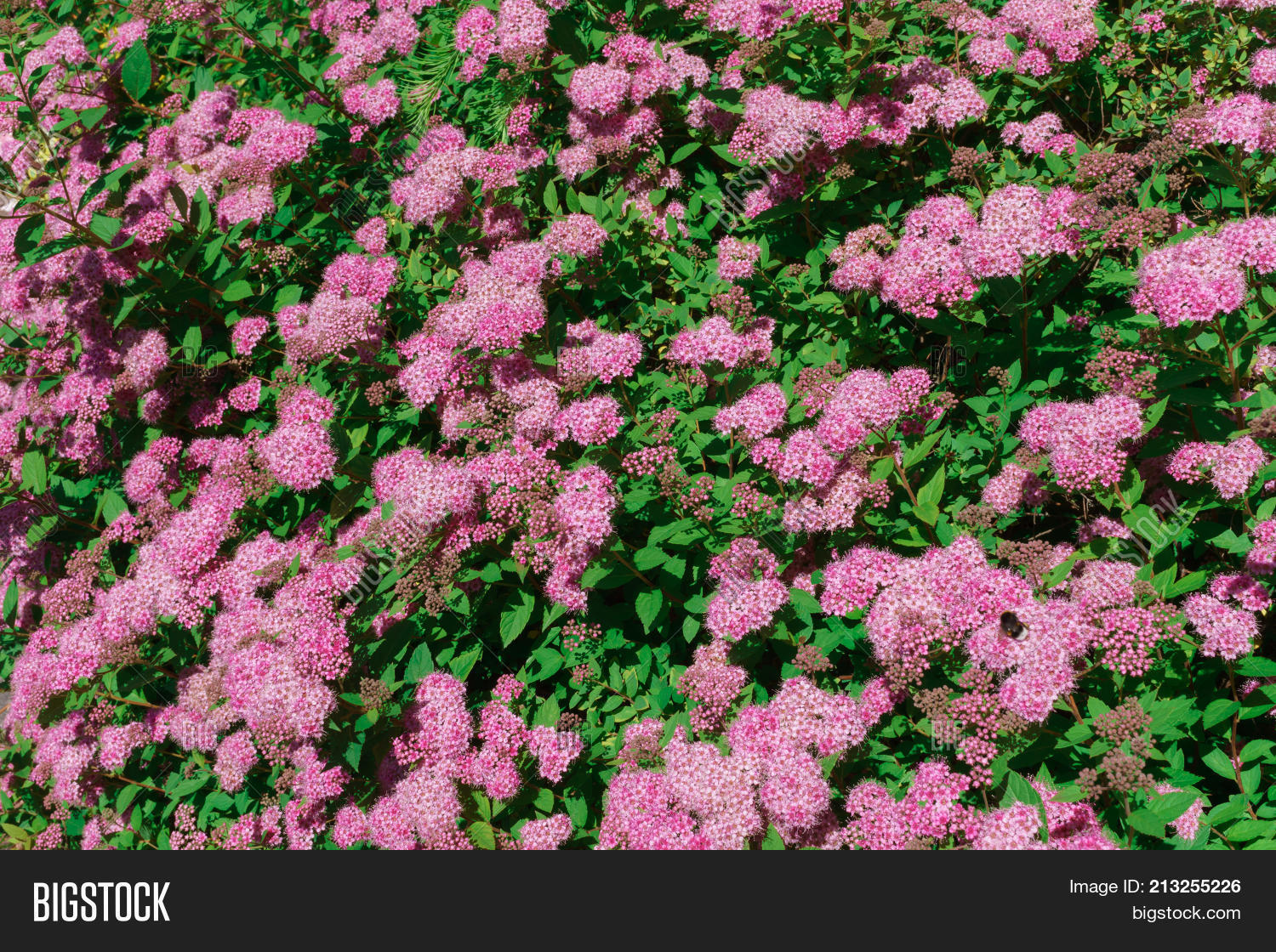 Autumn Bushes Pink Image Photo Free Trial Bigstock