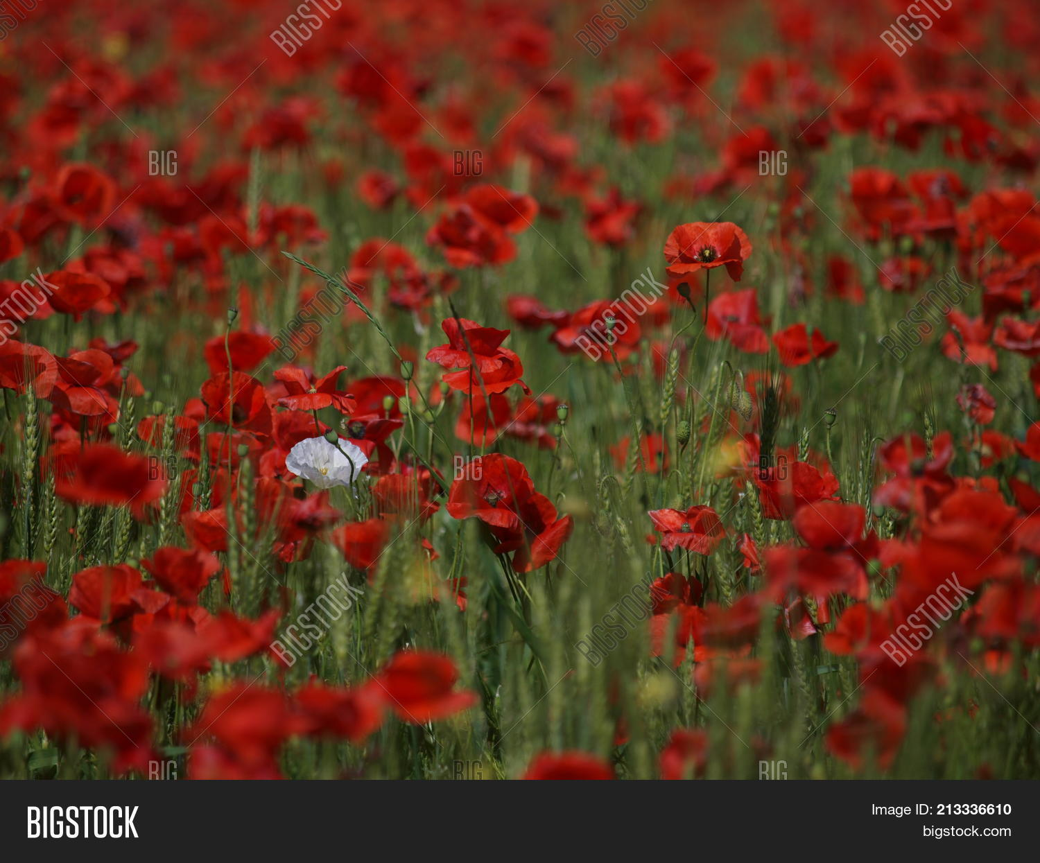 Poppy flowers growing image photo free trial bigstock poppy flowers are growing on a wheat field they add red tones to the green mightylinksfo