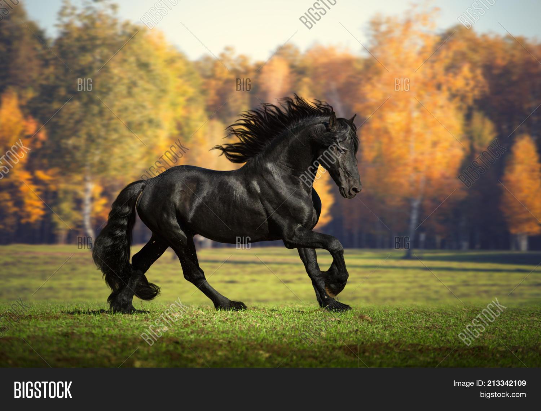 Big Black Horse Runs Image Photo Free Trial Bigstock