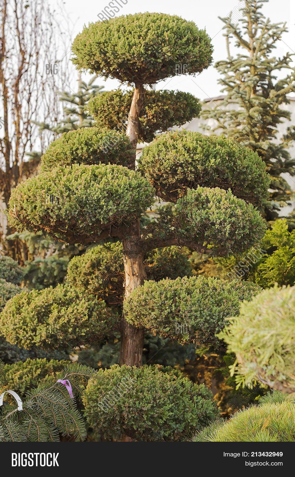 High Taxus Evergreen Image & Photo (Free Trial) | Bigstock