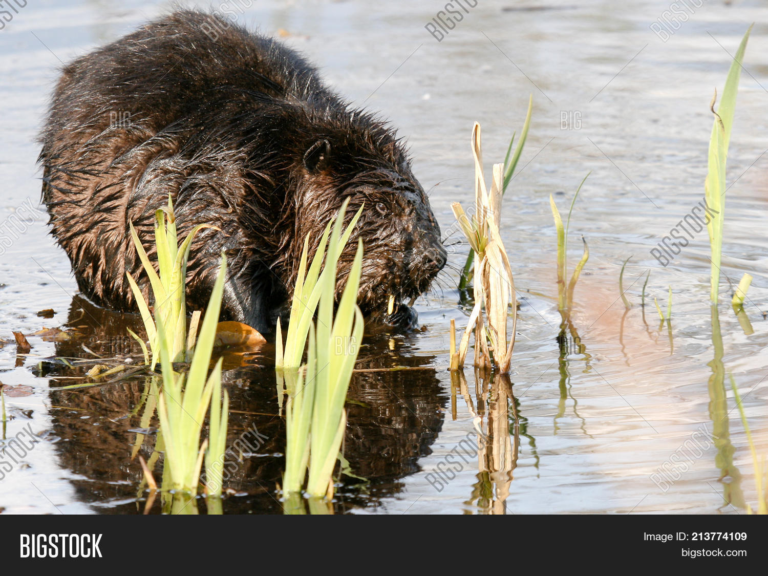 Beaver Munching On Image Photo Free Trial Bigstock