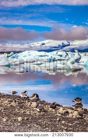 Sunrise illuminates the glacier Vatnajokull and water of Ice Lagoon Jokulsarlon. Several geese grazing on the coast of lagoon. The concept of northern ecotourism