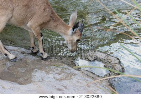 Ibex drinking water from the stream in Ein Gedi, Israel