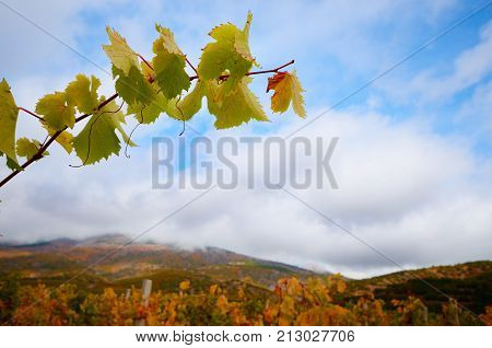 Vine Twig Over Green Vineyards Mountains At  Background