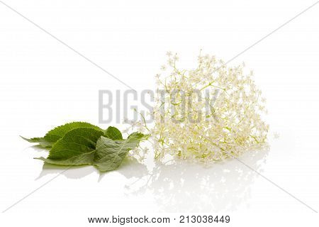 Elder flower blossoms isolated on a white background. Medicinal plant natural remedy.