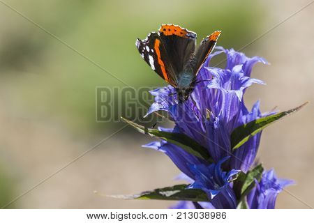 Daytime butterfly Red Admiral sits on a flower of willow gentian (Vanessa atalanta) poster