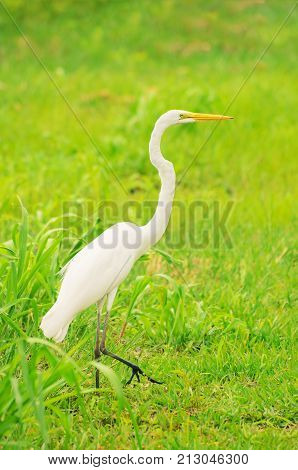 White Egret From Brazil Walking On A Green Grass.