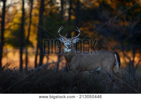White-tailed deer buck in the early morning light during the rut