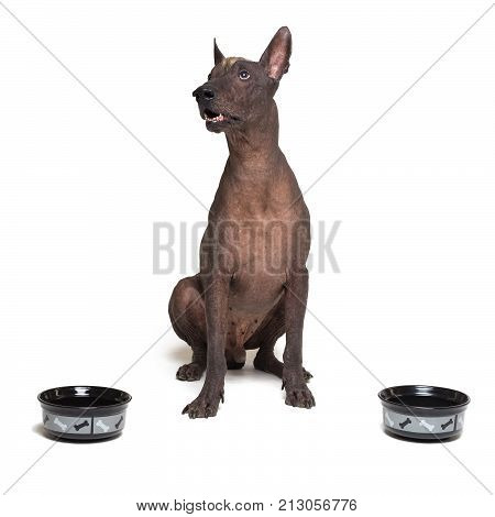 hungry dog between two bowls. xoloitzcuintli Mexican Hairless Dog waiting and looks up to have his bowl filled food isolated on white background