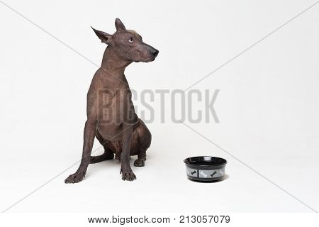 hungry Dog with a bowl. xoloitzcuintli Mexican Hairless Dog waiting and looks up to have his bowl filled food on white background