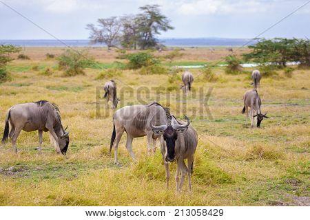 Antelopes standing in the grassland Kenya gnu