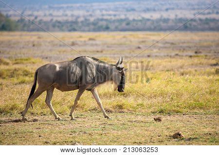 Gnu antelope is walking on safari in Kenya