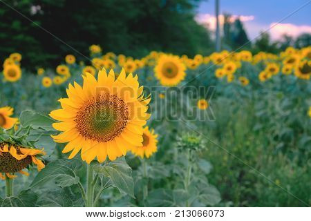 Sunflower field with a cloudy blue sky great view