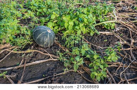 One green pumpkin forgotten during harvest on a Dutch field. The leaves and stems of the plants are dry and withered. Fresh green weeds are growing around now.