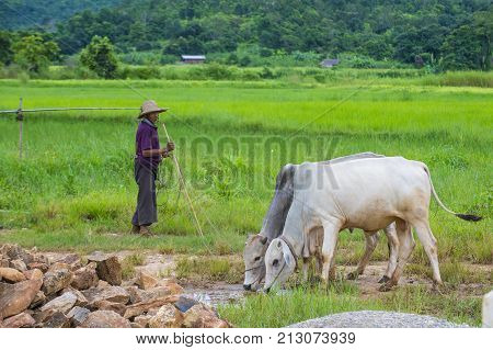 SHAN STATE MYANMAR - SEP 06: Burmese shepherd in a pasture with a cows in Shan state Myanmar on September 06 2017 agriculture is the main industry in Myanmar