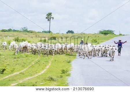 SHAN STATE MYANMAR - SEP 06: Burmese shepherd in a pasture with a cow herd in Shan state Myanmar on September 06 2017 agriculture is the main industry in Myanmar
