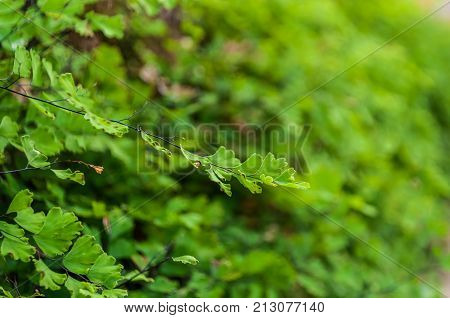 Maiden hair fern (Adiantum sp.) leaves on blur green background. It is used in herbal medicine as tea or syrup for its expectorant and cough suppressing properties. Selective focus.