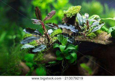 Bucefalanders in an aquarium with live plants