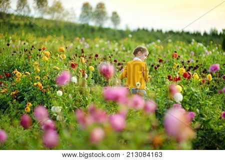 Cute little girl playing in blossoming dahlia field. Child picking fresh flowers in dahlia meadow on sunny summer day. Kid choosing flowers for her mother.