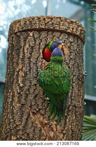 Rainbow lorikeet (Trichoglossus moluccanus) nest close up.