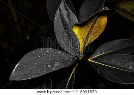 Magnolia Grandiflora leaves in special lights at early morning with special blurred and bokeh background.