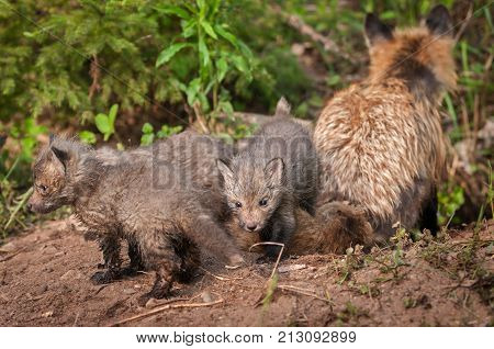 Red Fox Kits (Vulpes vulpes) With Vixen Back to Viewer - captive animals
